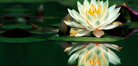 Hermosa-flor-de-loto-sobre-el-agua